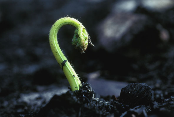 A fern regenerates after fire