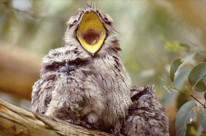 Frogmouth-yawn