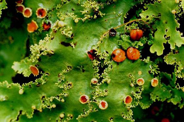 Lichen-green