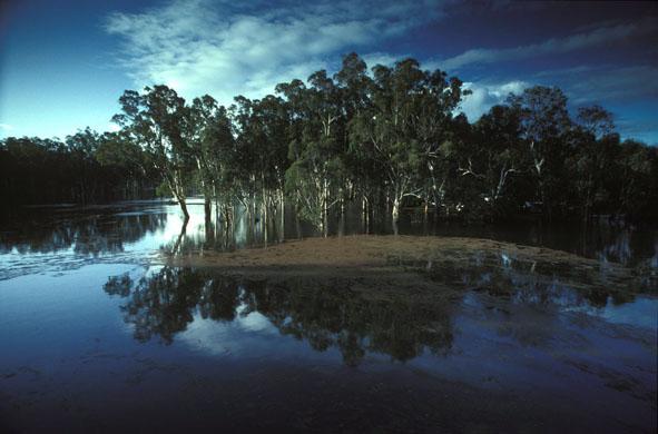 Flooded Redgum forest Eucalyptus camaldulensis at Barmah, NSW)ctober, 1993