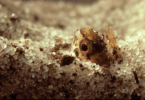 Salamander fish